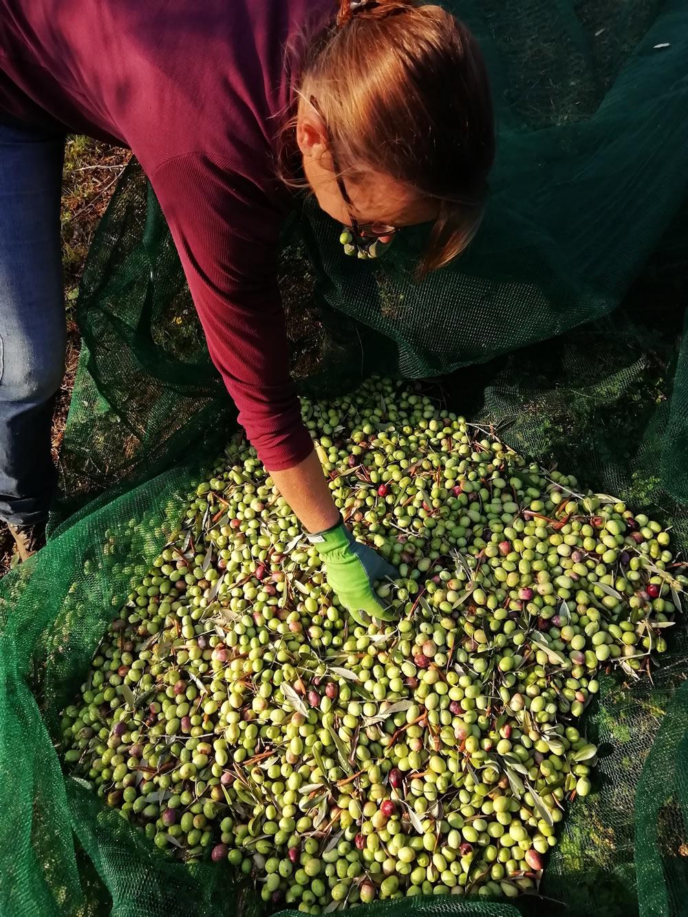 Raccolta olive in agriturismo e produzione olio - Pergola ...